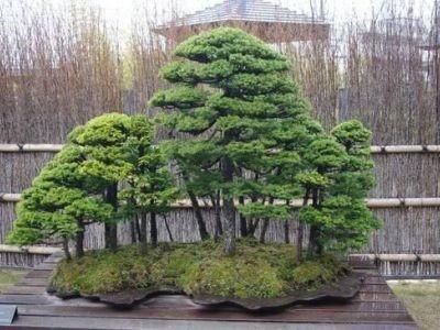 清香園の盆栽