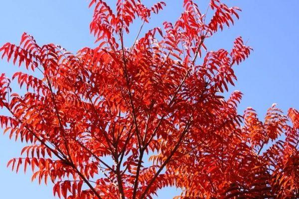 紅葉したハゼノキ